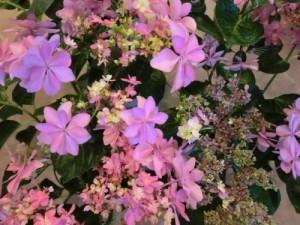 紫陽花「ダンスパーティー」