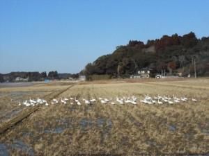 田んぼの白鳥①